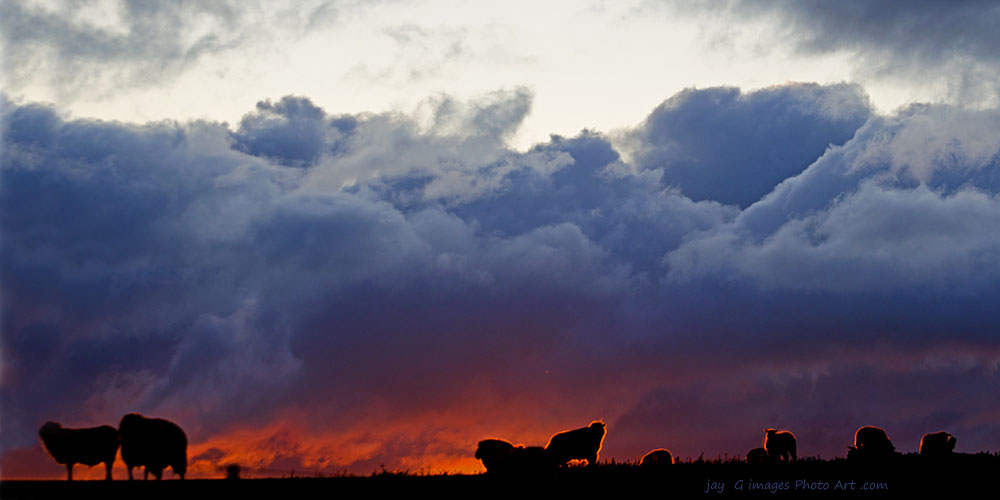 Sheep on hillside Tumbarumba sunset