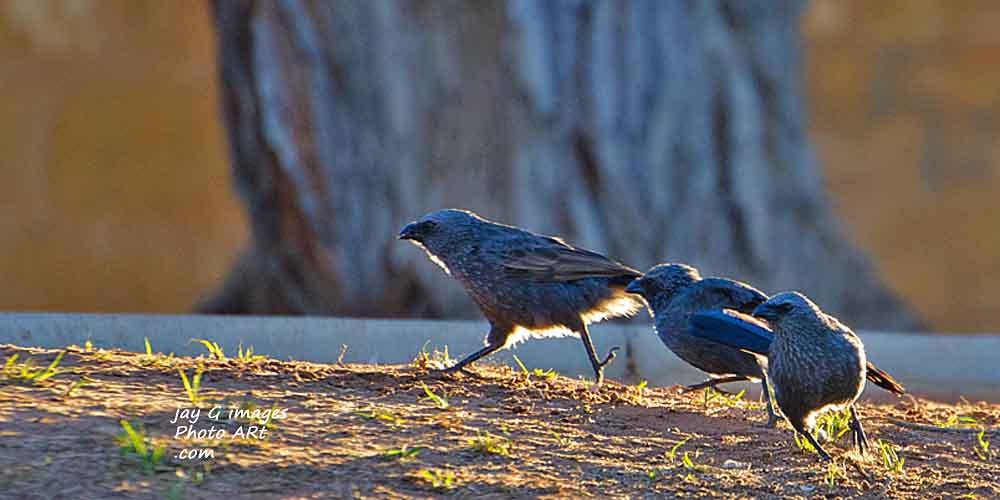 Apostle birds Waikerie Riverfront