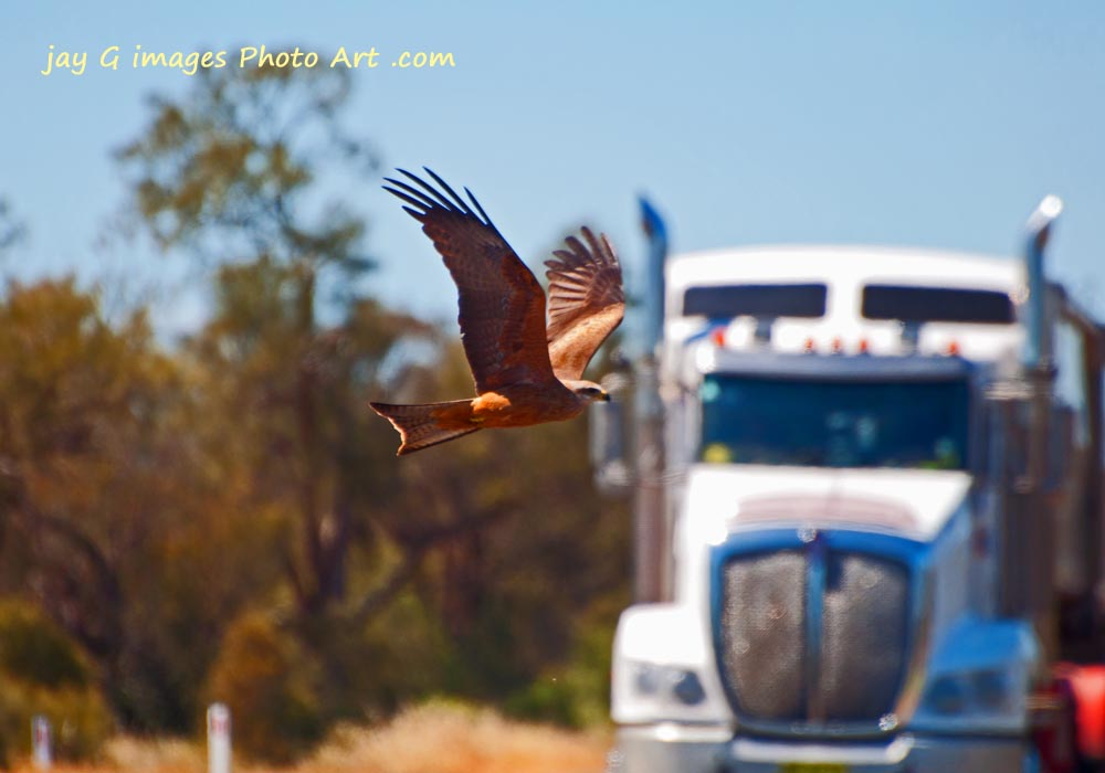 Black Kite on the Hay Plains