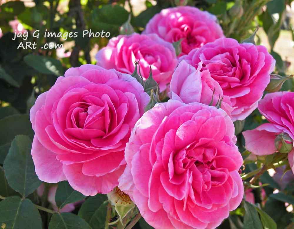 Renmark Rose Festival
