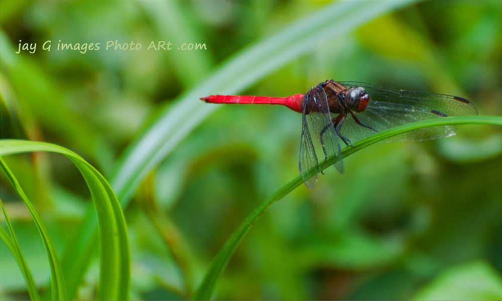 dragon fly Kooloonbung Creek