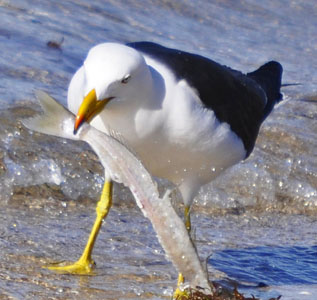 Sea gull with fish